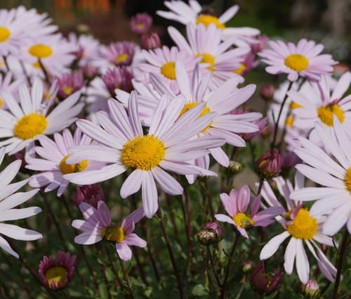 Produktbild Arctanthemum arcticum 'Roseum' - Grönland-Margerite