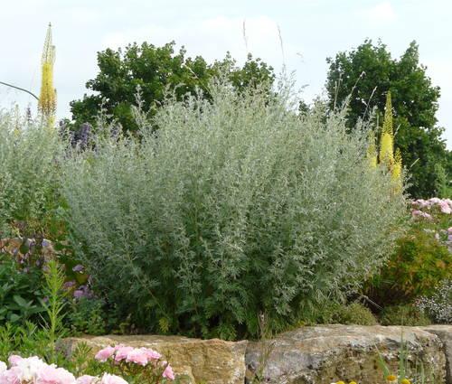 Produktbild Artemisia absinthium 'Lambrook Mist' - Silbriger Garten-Wermut