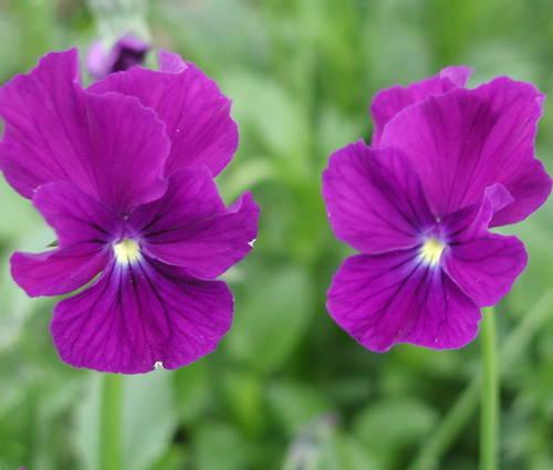 Produktbild Viola cornuta 'Roem van Aalsmeer' - Horn-Veilchen