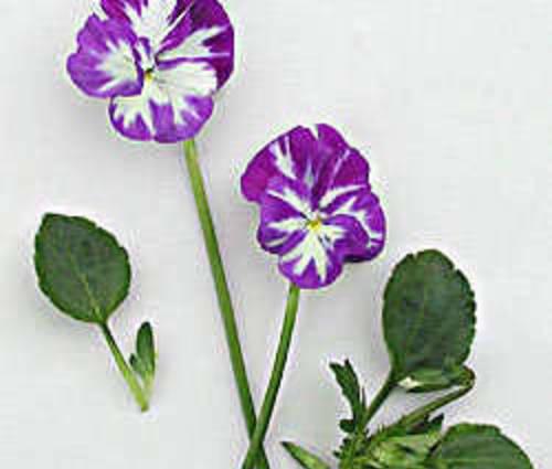 Produktbild Viola cornuta 'Rebecca' - Horn-Veilchen