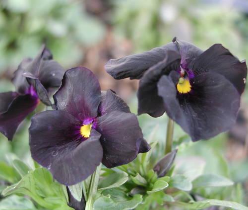 Produktbild Viola cornuta 'Molly Sanderson' - Horn-Veilchen
