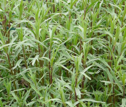 Produktbild Artemisia dracunculus var. sativus 'Baden-Baden' - Deutscher Estragon