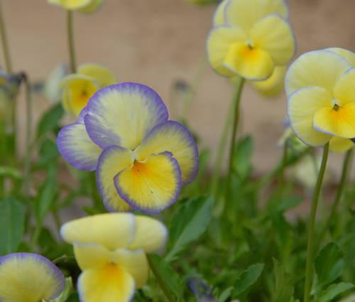 Produktbild Viola cornuta 'Etain' - Horn-Veilchen