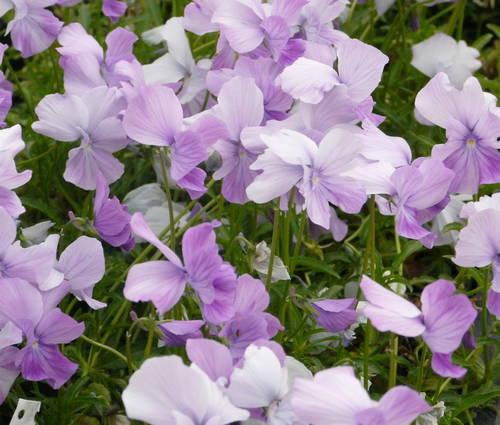 Produktbild Viola cornuta 'Dolphin' - Horn-Veilchen