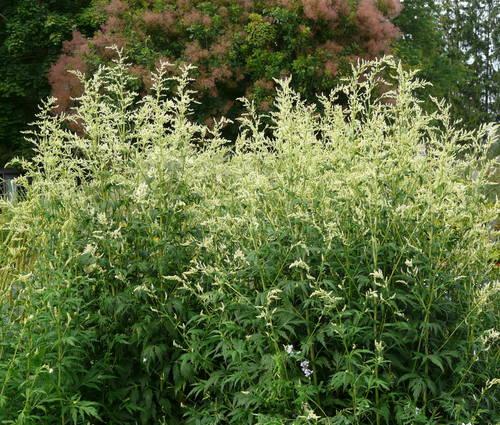 Produktbild Artemisia lactiflora 'Elfenbein' - Elfenraute