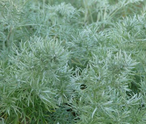 Produktbild Artemisia schmidtiana 'Nana' - Polster-Silberraute