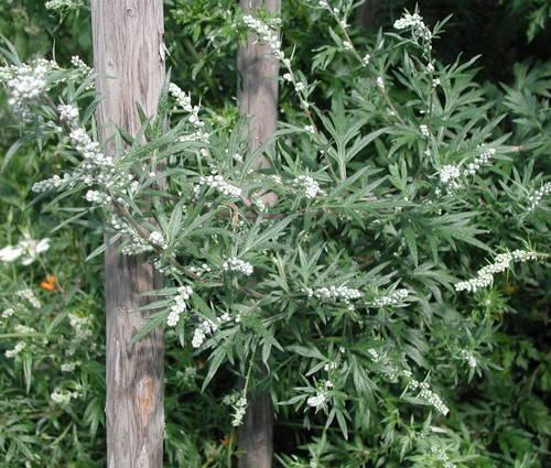 Produktbild Artemisia vulgaris - Beifuß