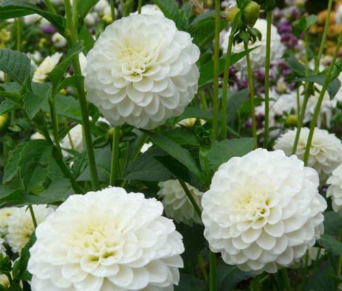 Produktbild Dahlia 'White Aster' - Pompon-Dahlie
