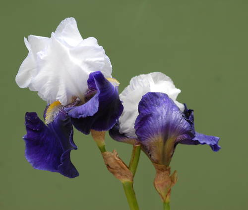 Produktbild Iris barbata-elatior 'Night Edition' - Hohe Bart-Iris