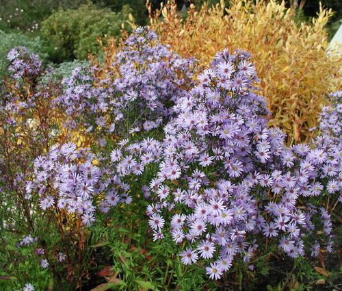 Produktbild Aster cordifolius 'Little Carlow' - Blaue Wald-Aster