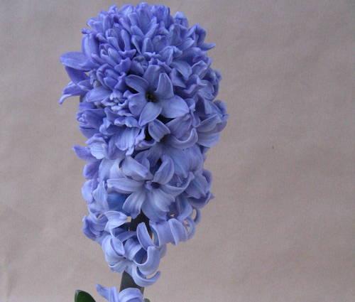 Produktbild Hyacinthus orientalis 'Blue Star' - Präparierte Hyazinthenzwiebeln