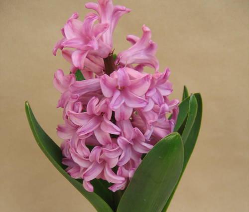 Produktbild Hyacinthus orientalis 'Pink Pearl' - Präparierte Hyazinthenzwiebeln