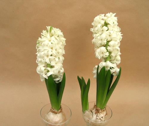 Produktbild Hyacinthus orientalis 'White Pearl' - Präparierte Hyazinthenzwiebeln