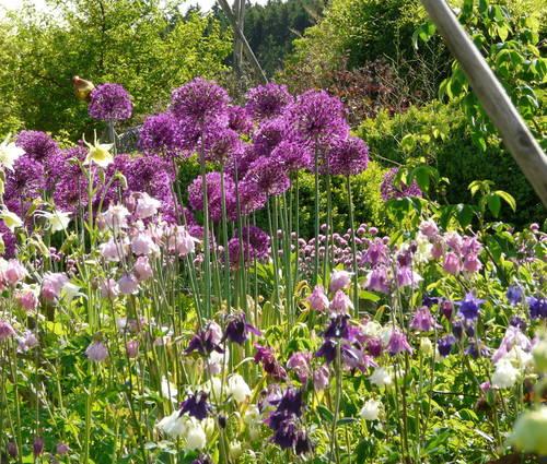 Produktbild Allium aflatunense 'Purple Sensation' - Purpur-Kugellauch