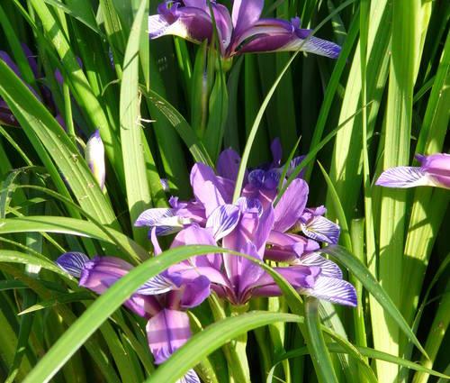 Produktbild Iris graminea - Pflaumen-Schwertlilie, Gras-Schwertlilie
