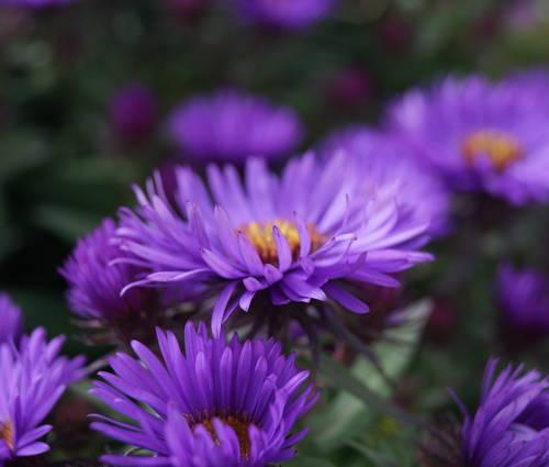 Produktbild Aster novae-angliae 'Purple Dome' - Raublatt-Aster