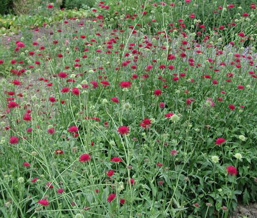 Produktbild Knautia macedonica - Purpur-Witwenblume