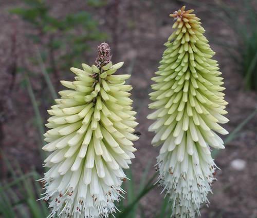 Produktbild Kniphofia Hybride 'Ice Queen' - Weiße Fackellilie