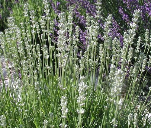 Produktbild Lavandula angustifolia 'Blue Mountain White' - Garten-Lavendel