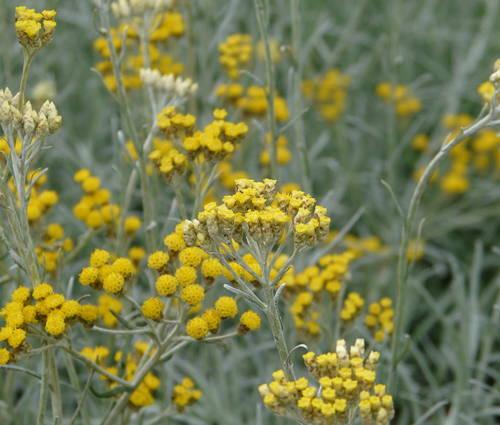 Produktbild Helichrysum italicum 'Silbernadel' - Strauch-Strohblume, Currykraut