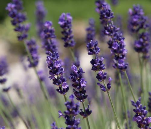 Produktbild Lavandula angustifolia 'Imperial Gem' - Garten-Lavendel