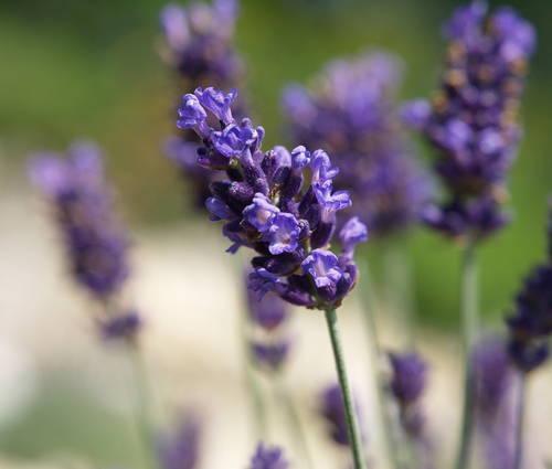 Produktbild Lavandula angustifolia 'Hidcote Blue' - Garten-Lavendel