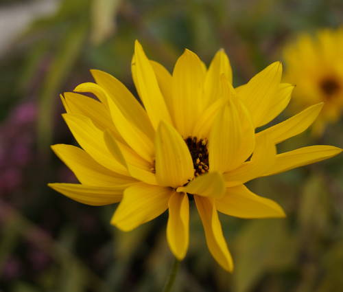 Produktbild Helianthus tuberosus - Topinambur