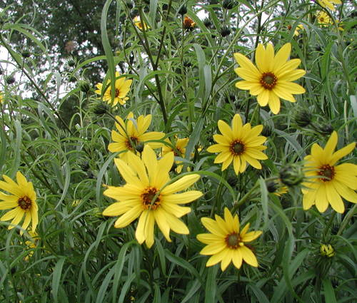 Produktbild Helianthus salicifolius var. orgyalis - Weidenblättrige Sonnenblume