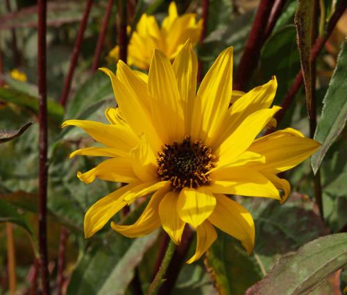 Produktbild Helianthus atrorubens - Stauden-Sonnenblume