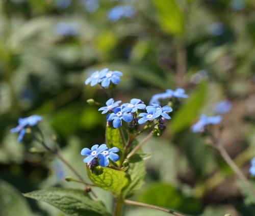 Produktbild Brunnera macrophylla - Kaukasusvergissmeinnicht