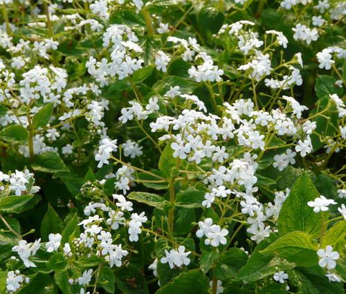Produktbild Brunnera macrophylla 'Betty Bowring' - Weißes Kaukasusvergissmeinnicht