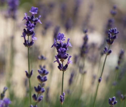 Produktbild Lavandula angustifolia 'Siesta' - Garten-Lavendel