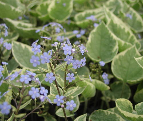 Produktbild Brunnera macrophylla 'Hadspen Cream' - Gelbbuntes Kaukasusvergissmeinnicht