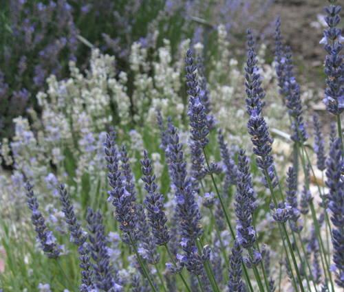 Produktbild Lavandula x intermedia 'Grappenhall' - Provence-Lavendel