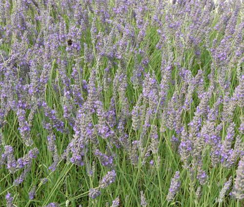 Produktbild Lavandula x intermedia 'Fragrant Memories' - Provence-Lavendel