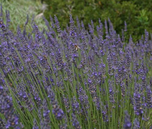 Produktbild Lavandula x intermedia 'Grosso' - Provence-Lavendel