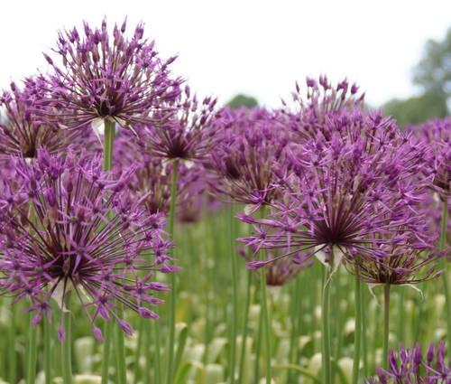 Produktbild Allium 'Purple Rain' - Purpur-Kugellauch