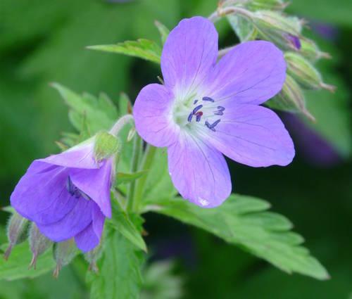 Produktbild Geranium sylvaticum 'Mayflower' - Wald-Storchschnabel