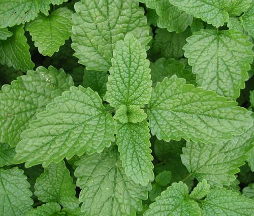 Produktbild Melissa officinalis 'Limoni' (BLBP 27) - Limonen-Melisse