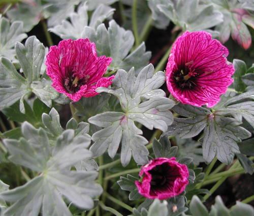Produktbild Geranium cinereum 'Purple Pillow' ® - Grauer Storchschnabel