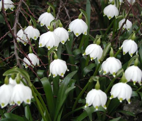 Produktbild Leucojum vernum - Märzenbecher, Frühlings-Knotenblume