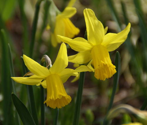 Produktbild Narcissus 'February Gold' - Cyclamineus-Narzisse