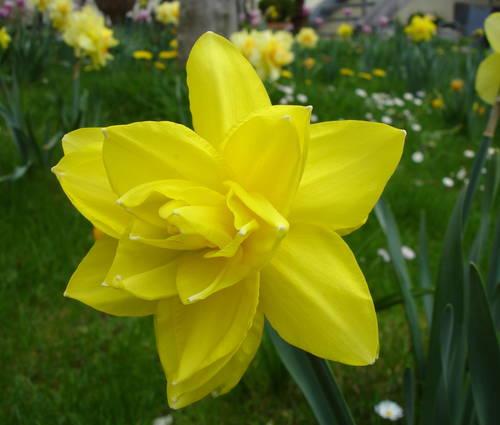 Produktbild Narcissus 'Golden Ducat' - Gefüllte Narzisse