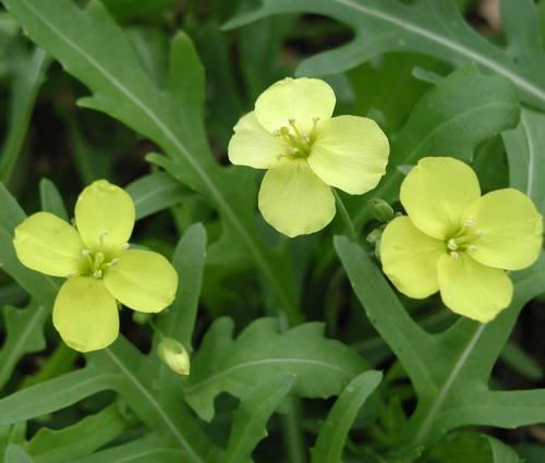 Produktbild Diplotaxis tenuifolia - Stauden-Rucola, Rauke