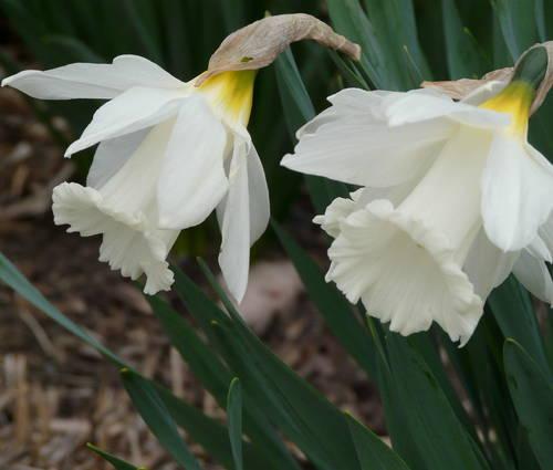 Produktbild Narcissus 'Mount Hood' - Trompeten-Narzisse