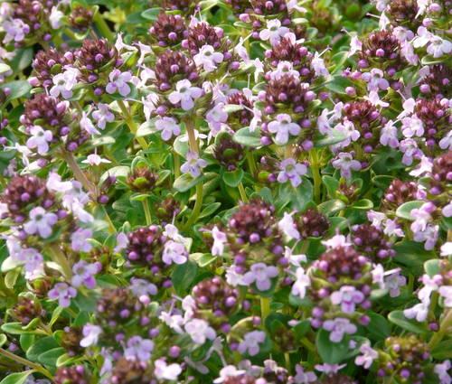 Produktbild Thymus species 'Kokos' - Kokos-Thymian