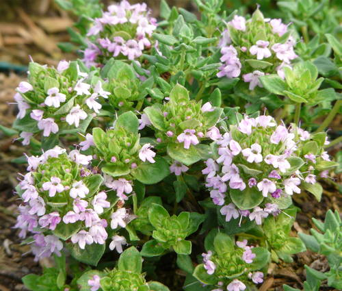Produktbild Thymus species 'Bergamotte' - Bergamotte-Thymian
