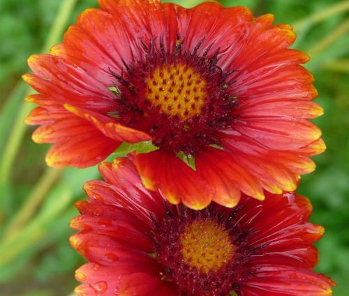 Produktbild Gaillardia x grandiflora 'Burgunder' - Kokardenblume