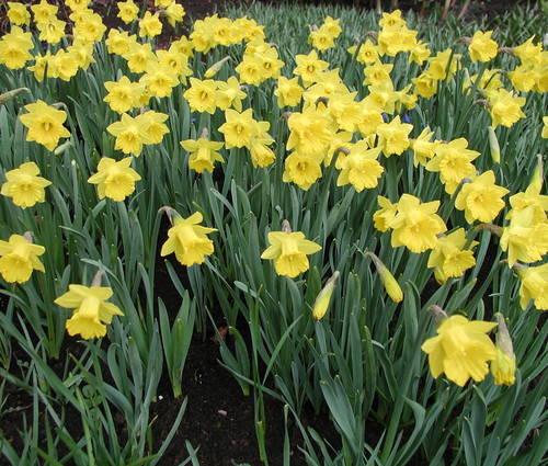 Produktbild Narcissus pseudonarcissus ssp. obvallaris - Tenby-Narzisse