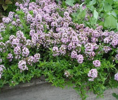 Produktbild Thymus longicaulis ssp. odoratus - Kaskaden-Thymian